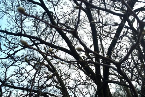 Magnolia tree buds near Smithsonian Castle