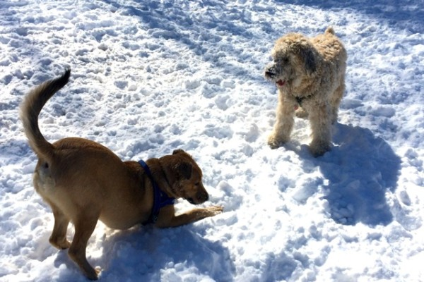 Dogs romping in Lincoln Park, Feb. 17, 2015