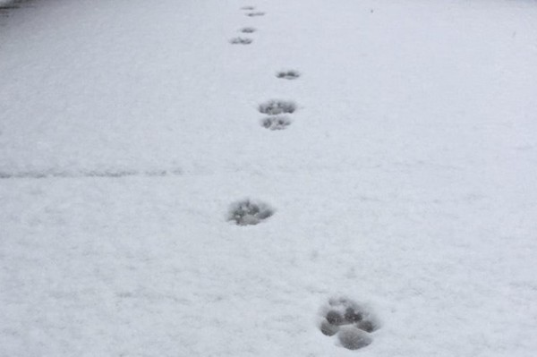 Puppy prints in snow, March 5, 2015 (Photo via Twitter/hstreetweather)