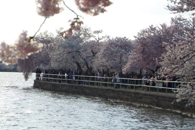 Cherry blossom trees along the Tidal Basin (Photo via Facebook/National Cherry Blossom Festival)