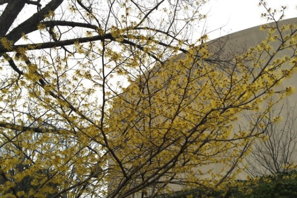 Flowering tree near Hirshhorn Museum