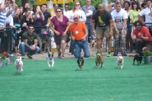 Running dogs (Photo via Facebook/Running of the Chihuahuas IV)
