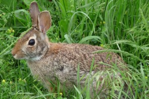 Eastern Cottontail rabbit (Photo via Flickr/Donald Hines)