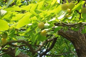 Ginkgo tree (Photo via Flickr/Ginkgo CZ)