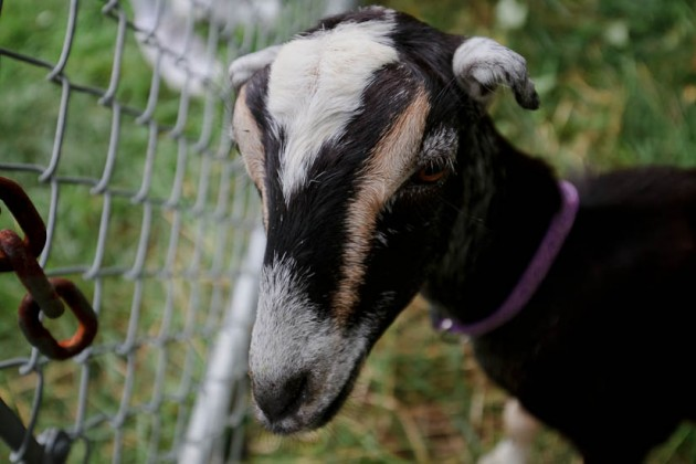 "Nadia ""The Wonder Goat"""