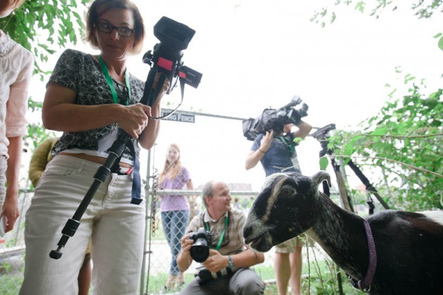 A goat socializes with the press.