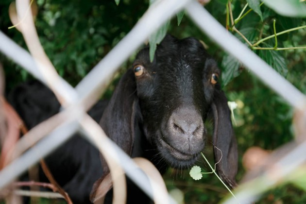 A goat peers at the crowd gathered by the fence.
