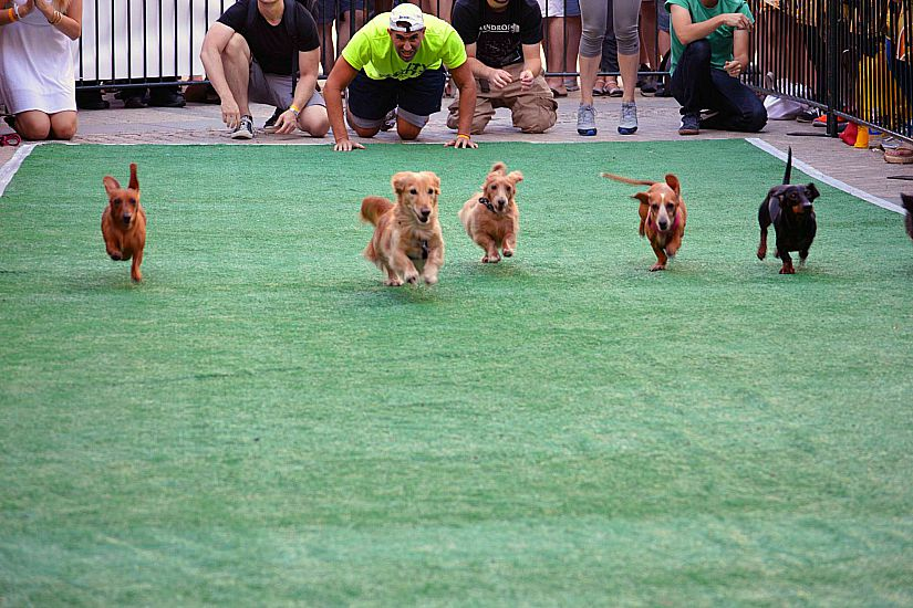Wiener 500 Dachshund Dash (Photo via Facebook/On Tap Magazine)