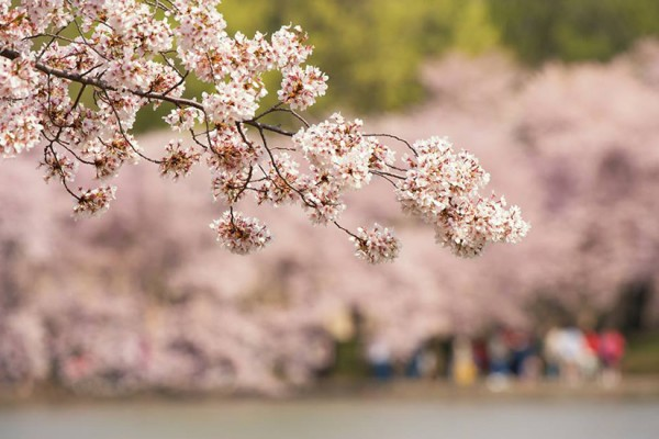 Cherry blossoms (Photo via National Cherry Blossom Festival)
