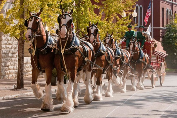 Budweiser Clydesdales (Photo courtesy of Maha Hakki)